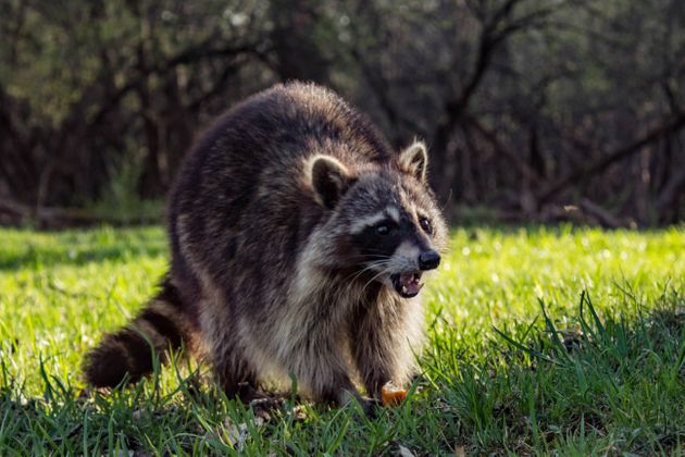 Angry Wild Raccoon Catch a piece of
