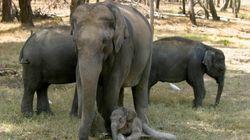 Do India's Elephants Really Need Birth