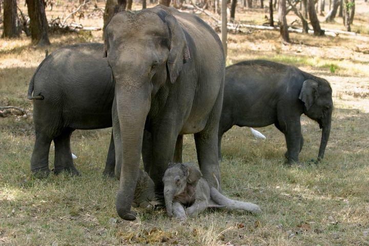 Indian elephant, Elephas maximus, with just born calf, Kanha National Park, Madhya Pradesh, IndiaÊ