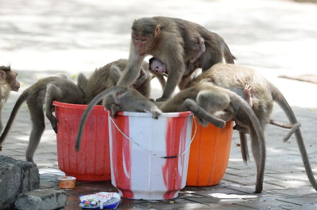 Monkeys drink water from buckets on a hot summer day at Guindy Children's Park in Chennai on June 10,...