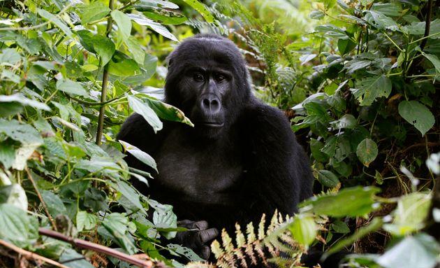 FILE PHOTO -- An endangered mountain gorilla from the Bitukura family, rests among vegetation inside...