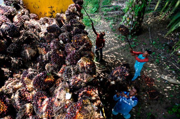 インドネシアで、出荷のためトラックに積まれるアブラヤシの実