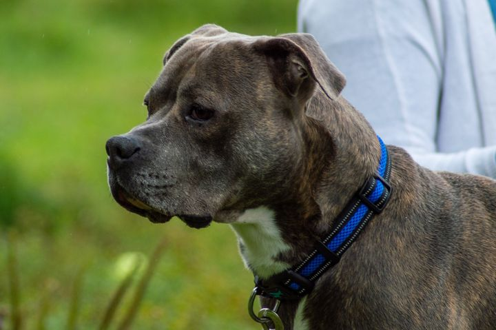 Odie, a three-year-old Boxador, was detained by an Ontario pound for 65 days because it thought he was a pit bull.