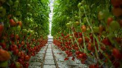 Les fermes urbaines: l'agriculture de