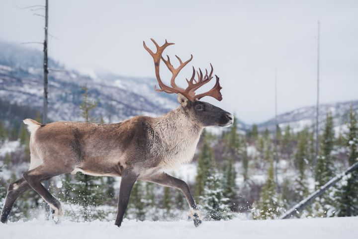 Male woodland caribou walking in the snow in Charlevoix, Quebec.