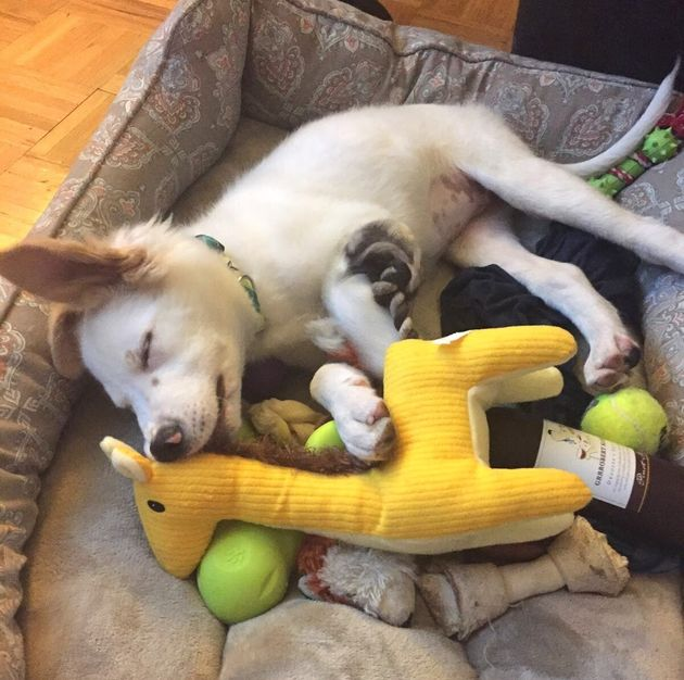The author's dog, Gussie, experiencing toy overload as a