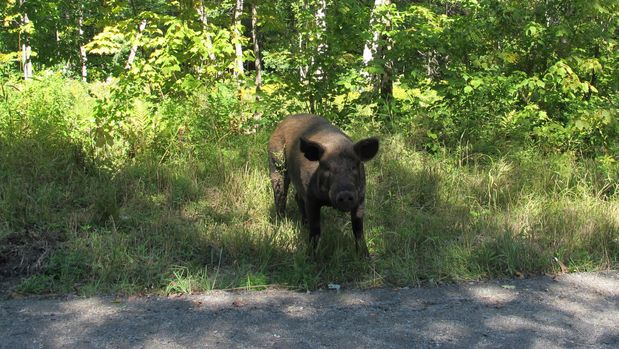 A pig that escaped from a Vermont farm's fencing walks along a road in Orange, Vt, on Thursday, Aug. 29, 2019. Farmer Walter Jeffries of Sugar Mountain Farm says most of the 250 pigs that escaped earlier this month are back and the fence, which he said was damaged by vandals, has been fixed.