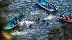 Αρχισε εν μέσω αντιδράσεων το ετήσιο κυνήγι δελφινιών στην