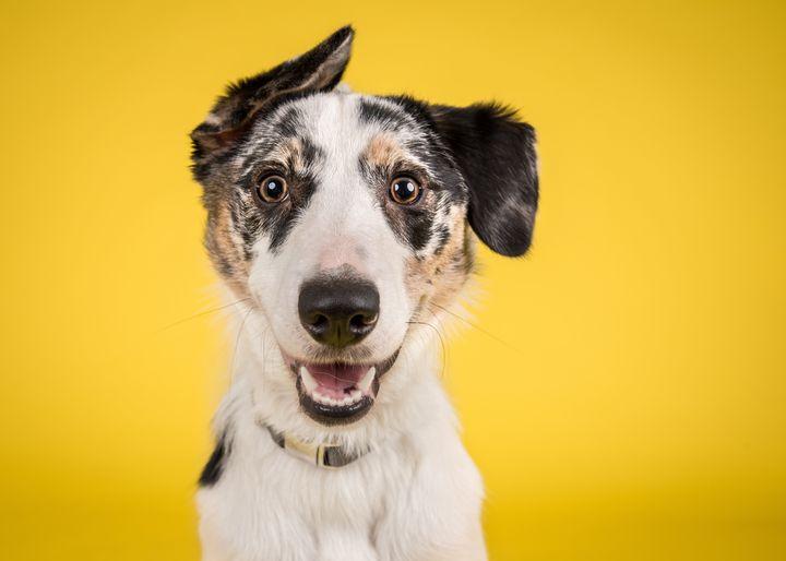 Happy Merle Crossbreed Collie Dog Portrait on Yellow Studio Background