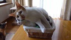 猫をクッションに横たわる猫、見事な懐柔テクニックを見せる