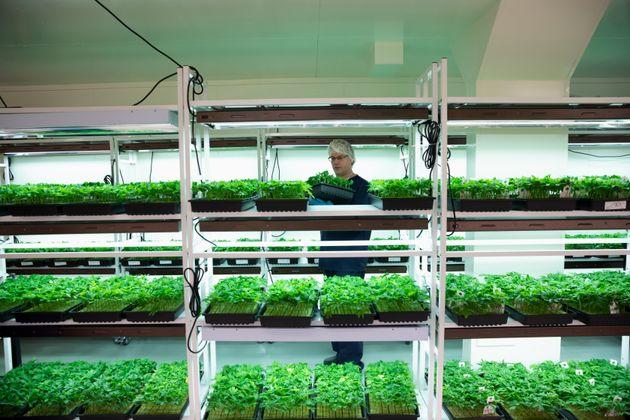 Les Pays-Bas vont désormais produire leur propre cannabis, pour contrer les trafics des réseaux....