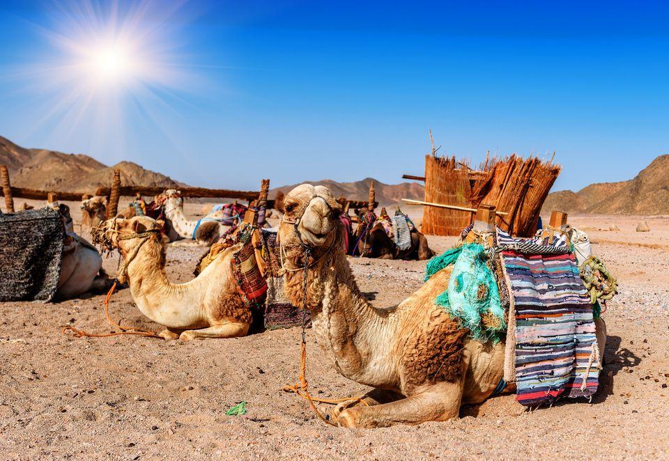 caravan of camels rests in desert under blue