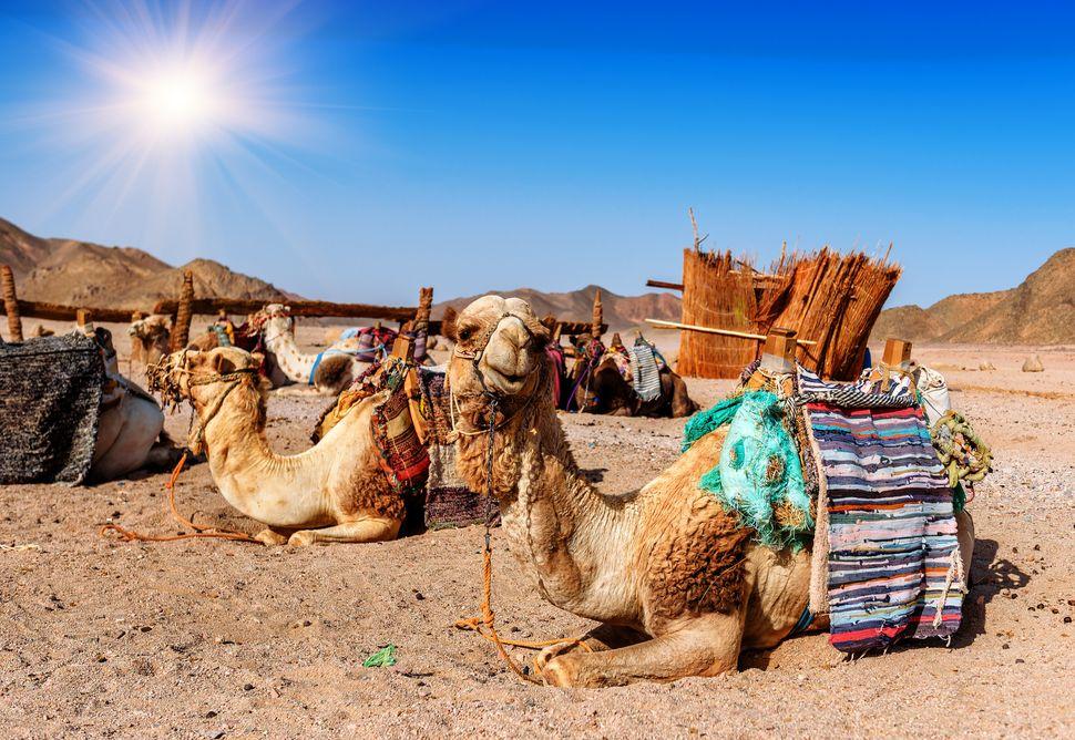 caravan of camels rests in desert under blue sky