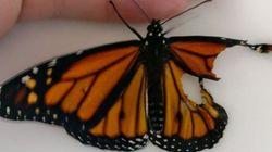 날개가 찢어진 나비에게 날개이식 수술을