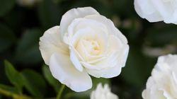 가수들이 흰 장미를 달고 그래미어워드에