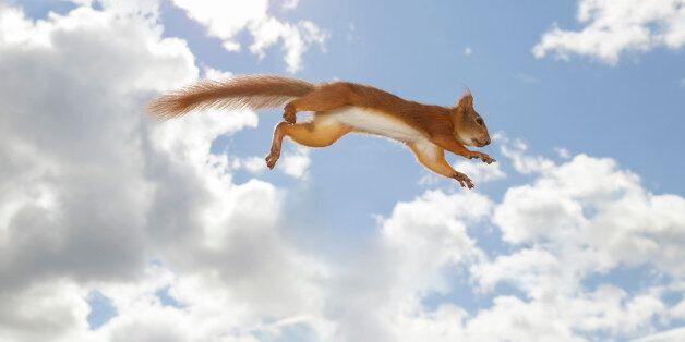 Red squirrel against sky in mid-air after jump, Bispgarden, Jamtland,