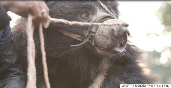 이빨이 뽑힌 채 평생 관광객을 위해 춤추던 곰들이