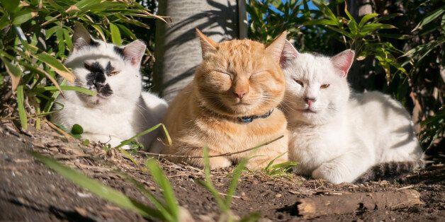 Stray cat in Enoshima island in