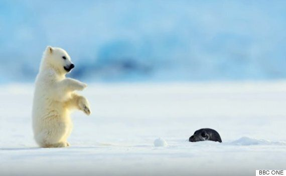 갑자기 튀어나온 물개와 마주친 새끼 북극곰의 반응