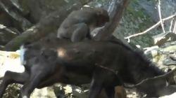 어린 원숭이가 사슴과 교미를 한