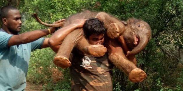 어느 인도 산림 경비원의 100kg 새끼 코끼리