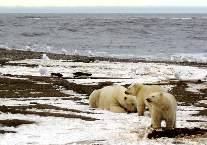 A polar bear sow and two cubs are seen on the Beaufort Sea coast within the Arctic National Wildlife Refuge.Joe Balash