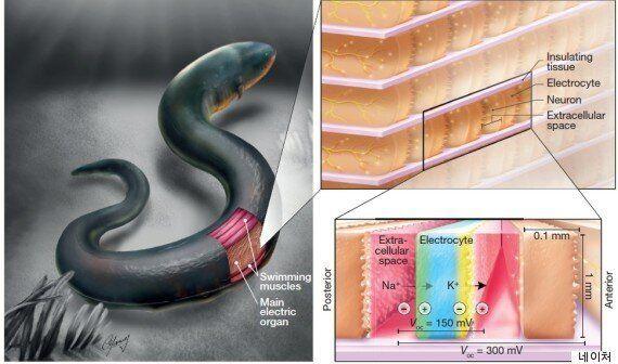 전기뱀장어 본떠...인간 몸에서 '전기 생산' 길