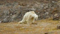 모두를 울게 만든 캐나다 북극곰의 짧은