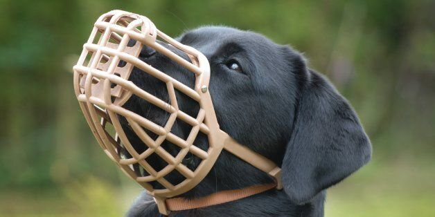 A muzzled dog prevents the animal from biting, but in this case prevents the labrador from eating unwanted