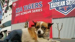 KIA 타이거즈의 우승에 나름 기여한 개가