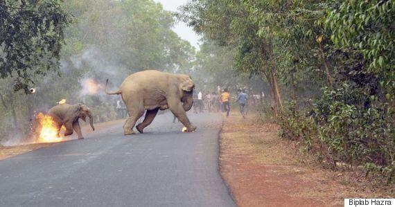 인도 농민들이 이 코끼리들에게 불덩어리를 던지게 된