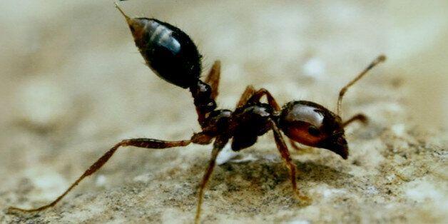 사람과 식물에게 위험한 붉은 독개미가 국내에