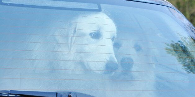 Two Great Pyrenees shut in a car boot. Could be used for issues of animal welfare. Hundreds of dogs die...