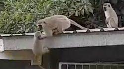 3주 만에 새끼와 재회한 어미 원숭이의