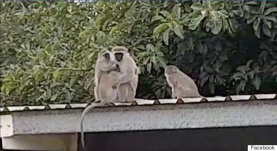 3주 동안 떨어져 있던 새끼와 재회한 어미 원숭이의