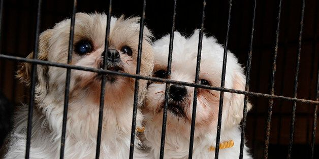 TORONTO, ON - FEBRUARY 2: 2 shih tzu s that were rescued from a puppy mill cuddle in their cage as the...
