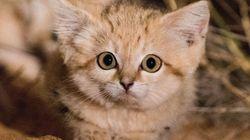 야생에서 발견된 '모래고양이'들은 정말