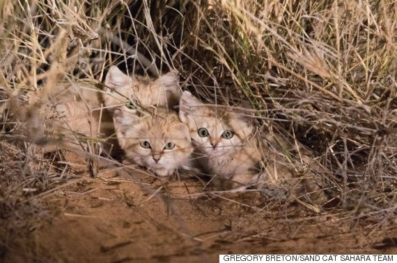 야생에서 포착된 '새끼 모래고양이'들은 어마어마하게