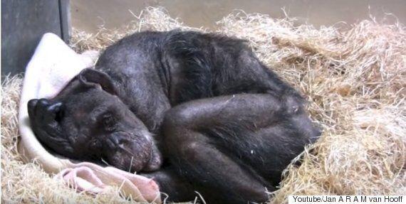 죽기 직전의 침팬지가 오랜 친구의 목소리를 듣고 보인