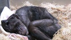 죽기 직전의 침팬지가 오랜 친구의 목소리를