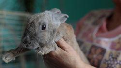 베네수엘라 정부의 '토끼 식량 계획'이