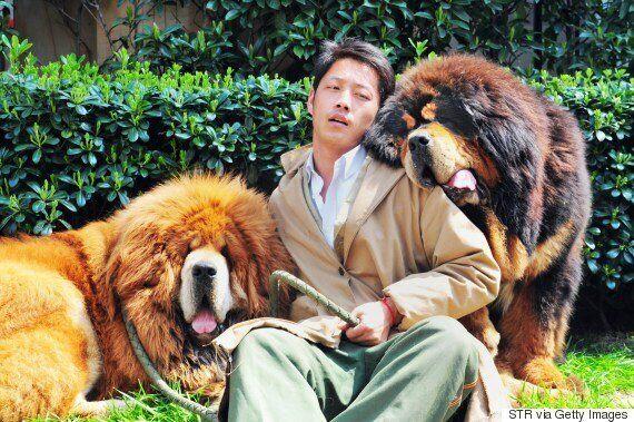 한때 수억원을 호가하던 티베탄 마스티프의 가격 거품이 사라지며 벌어진