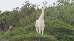 케냐에서 하얀색 기린들이 발견됐다(사진,