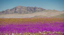 깜짝 폭우 덕분에 세상에서 가장 건조한 사막에 수백 가지 꽃이