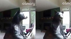 빈 집에 침입한 곰이 피아노를 치고