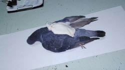 교도소로 마약을 나르던 비둘기가