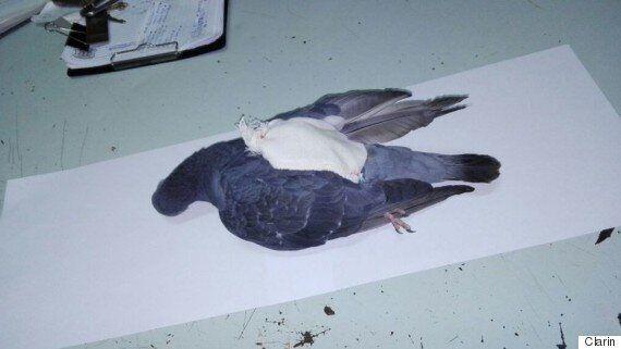 아르헨티나에서 교도소로 마약을 나르던 비둘기가