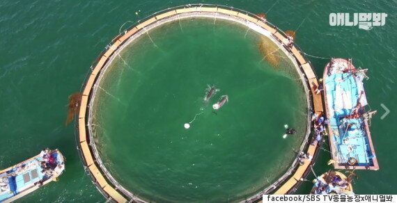 20년 동안 쇼를 해온 돌고래들이 고향 바다로 돌아가는