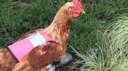 산책 좋아하는 닭을 위해 조끼를 만들어