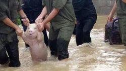 홍수에서 구조된 돼지는 미소를